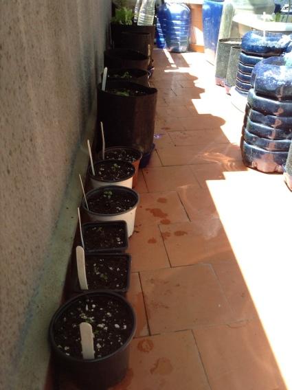 Trasplantes de tomillo y manzanilla